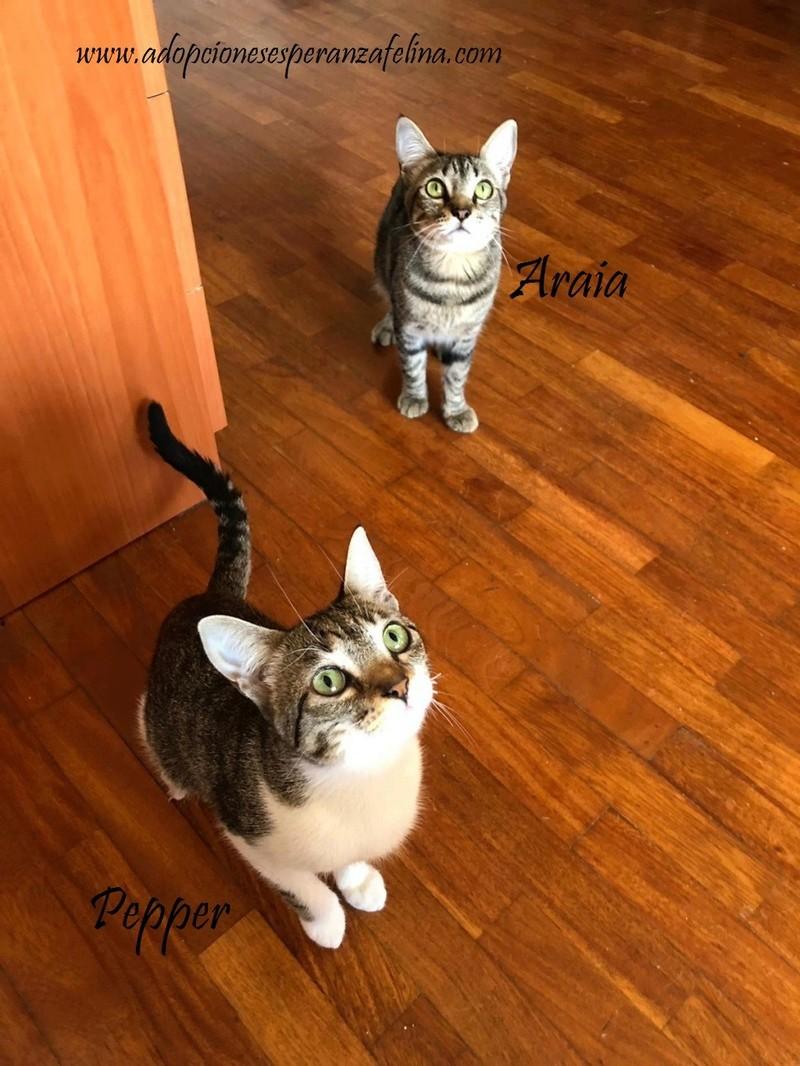 Araia y Pepper, preciosas gatitas buscan hogar. Alava (Fec. Nac. Aprox. 14/04/2018) Araia_10