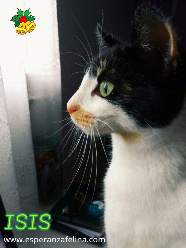Isis preciosa gatita tricolor en adopción. (FN: 01/03/17) Cbvd9n12