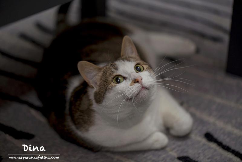 Dina, preciosa gata busca su hogar (Álava, fecha de nacimiento aproximada 10/04/2014 ) Dina212