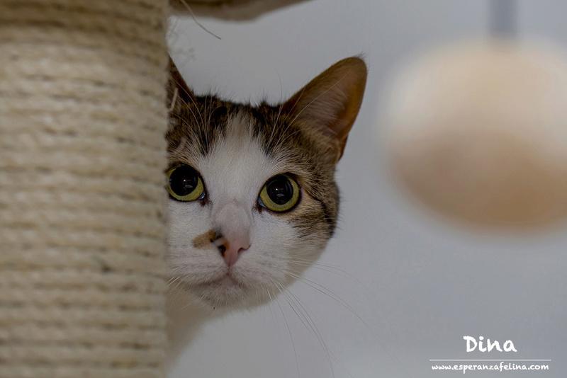 Dina, preciosa gata busca su hogar (Álava, fecha de nacimiento aproximada 10/04/2014 ) Dina_p11
