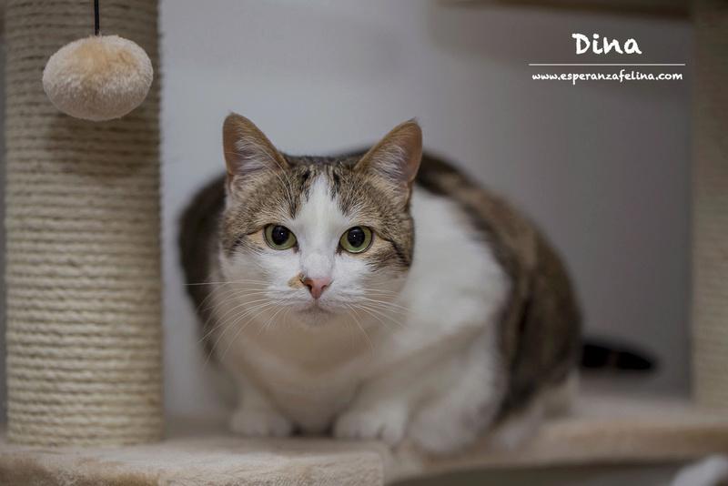 Dina, preciosa gata busca su hogar (Álava, fecha de nacimiento aproximada 10/04/2014 ) Dina_p12