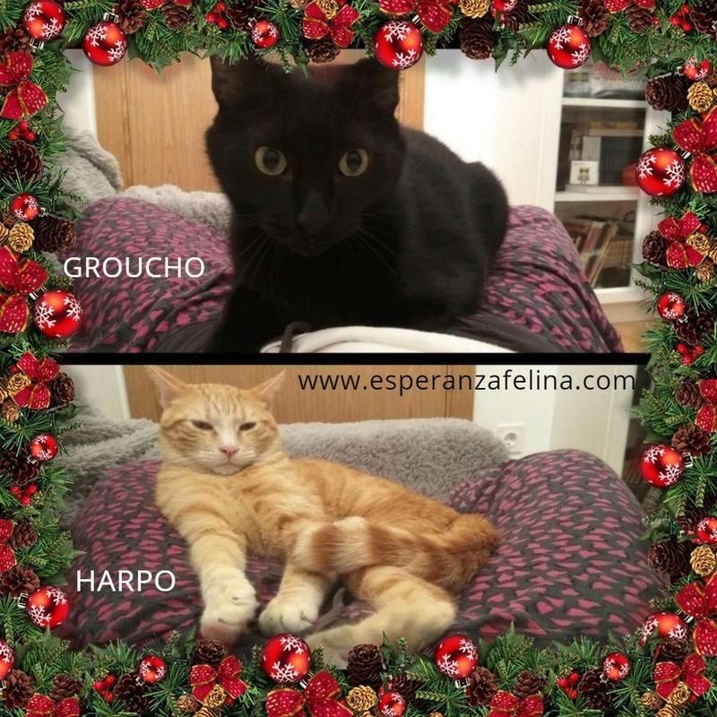 Harpo y Groucho, preciosa pareja en adopcion. Alava (FN:20/10/14) E5tdps10