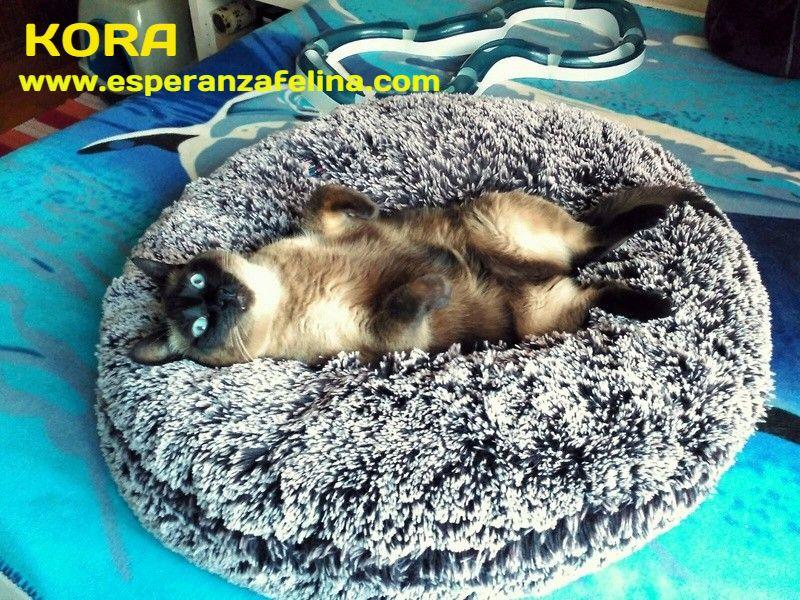 Kora, gata siamesa busca hogar, Álava (Fecha aprox. nacimiento 5/11) - Página 3 Ffvq5i10