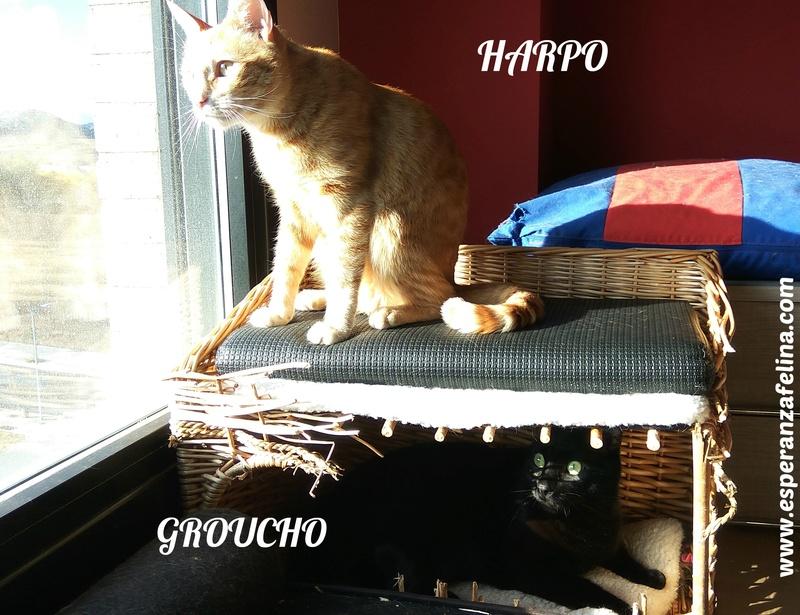 Harpo y Groucho, preciosa pareja en adopcion. Alava (FN:20/10/14) Harpo_10