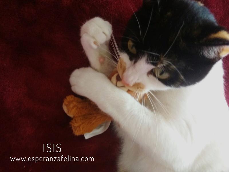 Isis preciosa gatita tricolor en adopción. (FN: 01/03/17) Isis_013