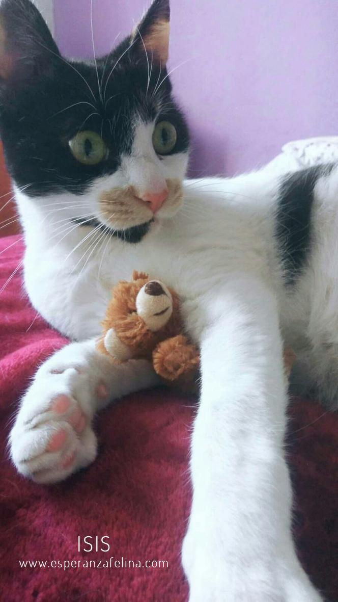 Isis preciosa gatita tricolor en adopción. (FN: 01/03/17) Isis_014