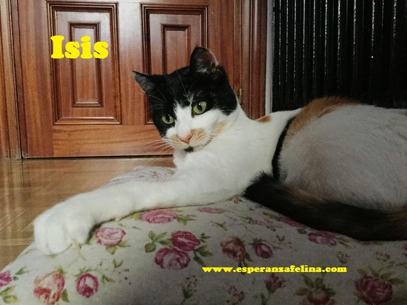 Isis preciosa gatita tricolor en adopción. (FN: 01/03/17) Isis_110
