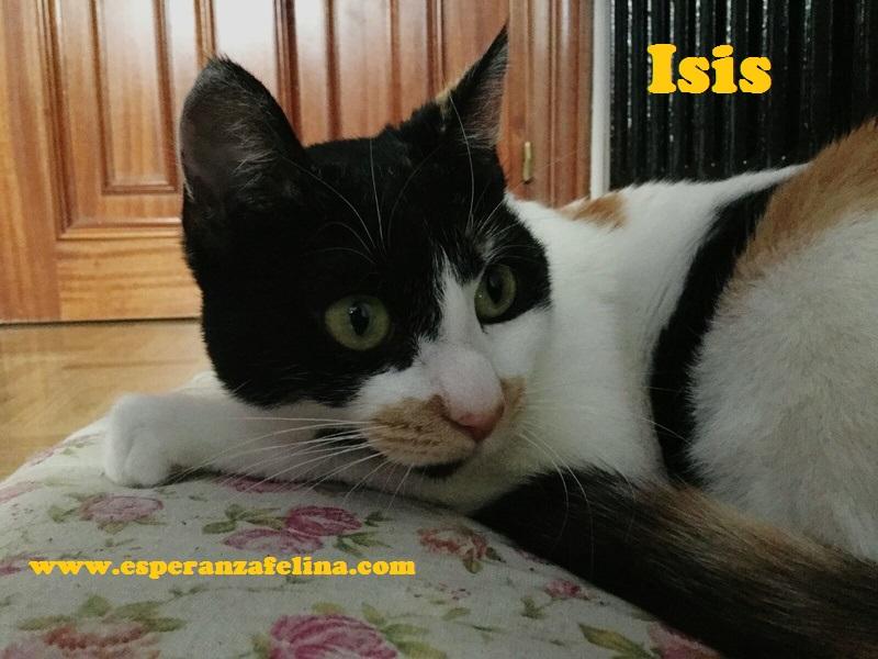 Isis preciosa gatita tricolor en adopción. (FN: 01/03/17) Isis_210