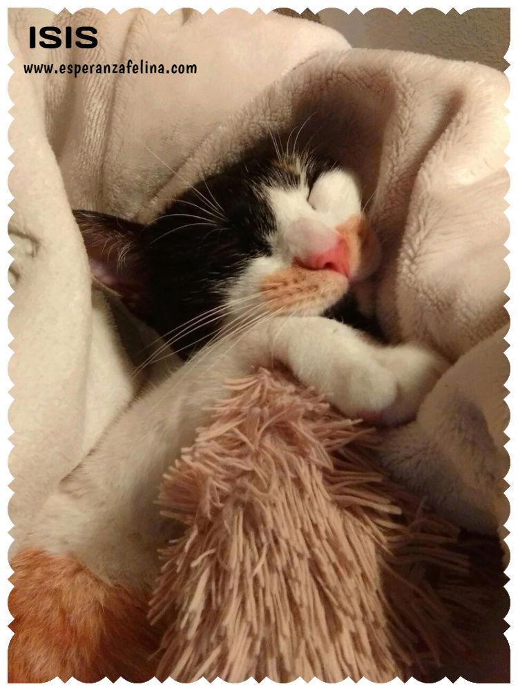 Isis preciosa gatita tricolor en adopción. (FN: 01/03/17) Isis_e20