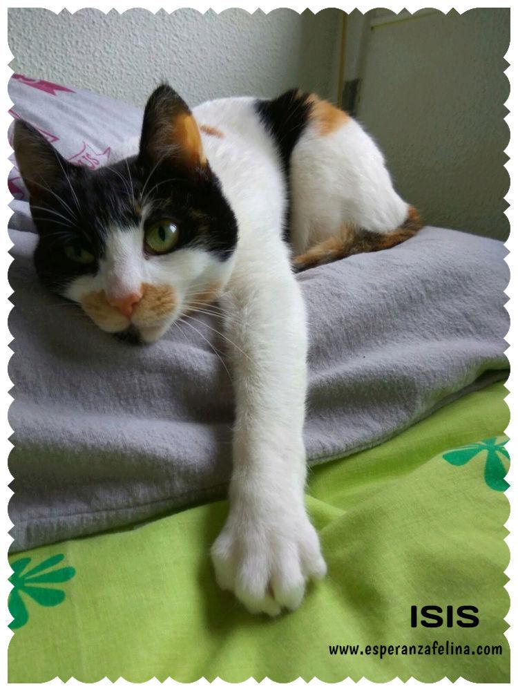 Isis preciosa gatita tricolor en adopción. (FN: 01/03/17) Isis_e21