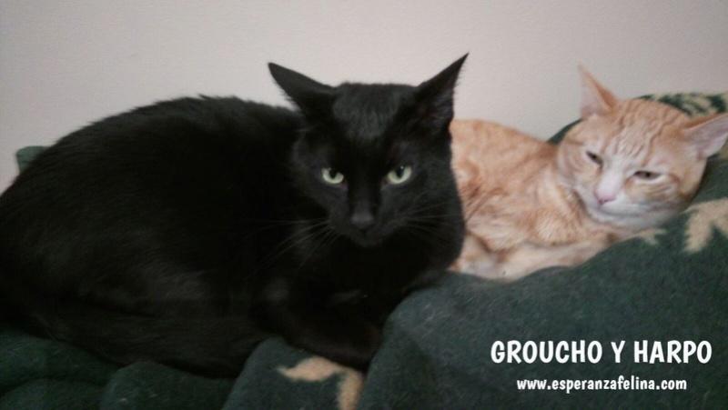 Harpo y Groucho, preciosa pareja en adopcion. Alava (FN:20/10/14) Lq0nxb10