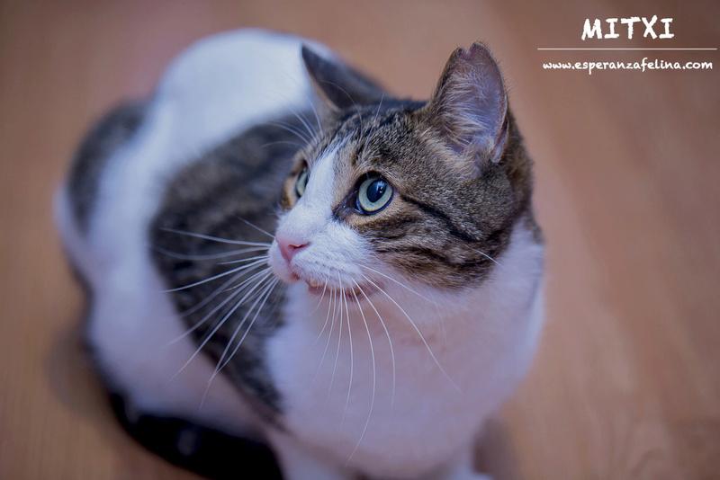 Mitxi, precioso gatito blanco y atigrado (Álava, FECHA DE NACIMIENTO APROX: 1/10/12)  Mitxi311
