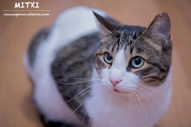 Mitxi, precioso gatito blanco y atigrado (Álava, FECHA DE NACIMIENTO APROX: 1/10/12)  Mitxi_12