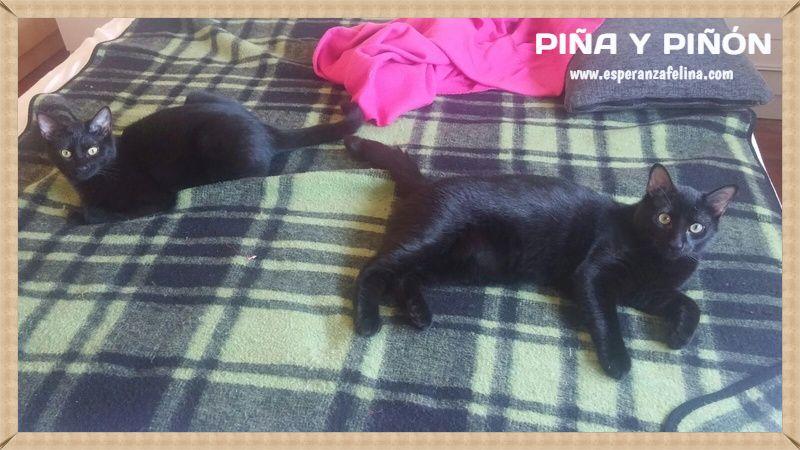 Piña y Piñón, parejita de negruchis en adopción (Alava, Fecha de nacimiento aprox.: 06/09/2017) Nuucgu10