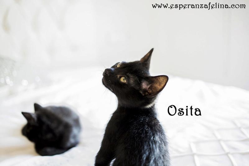 Osita, preciosa pantera en adopción. Álava (Fecha nacimiento: 05-04-17) ¡Adoptada! Osita210
