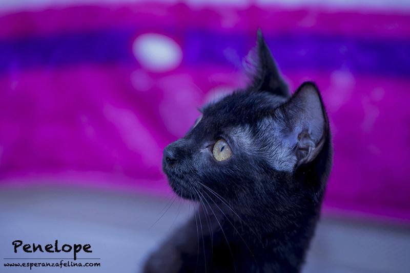 Penelope Glamour, preciosa gatita color azabache en adopción, Alava (Fecha nac, aprox:20/04/17) Penelo11