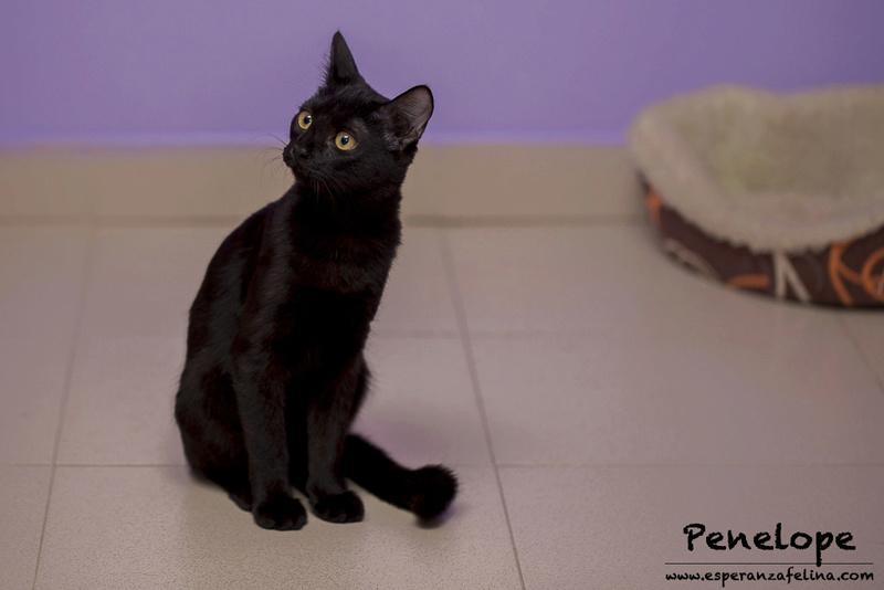 Penelope Glamour, preciosa gatita color azabache en adopción, Alava (Fecha nac, aprox:20/04/17) Penelo12