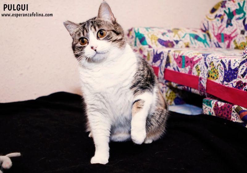 Pulguita, preciosa y mimosa gatita busca hogar. (F.N: 15/05/2012) (Positiva a inmuno + Leucemia) Álava. Pulgui19