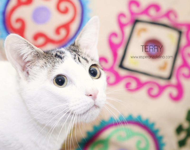 Terry, el gatito más guapo en adopción. (F.N: 24/04/17) Álava. Terry10