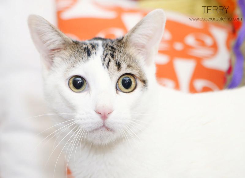 Terry, el gatito más guapo en adopción. (F.N: 24/04/17) Álava. Terry310