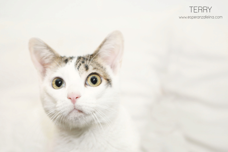 Terry, el gatito más guapo en adopción. (F.N: 24/04/17) Álava. Terry_10