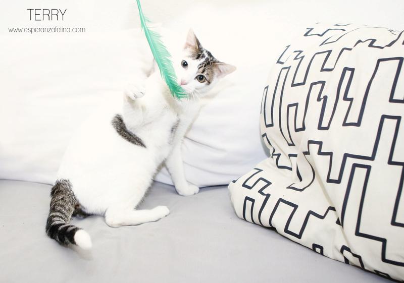 Terry, el gatito más guapo en adopción. (F.N: 24/04/17) Álava. Terry_11