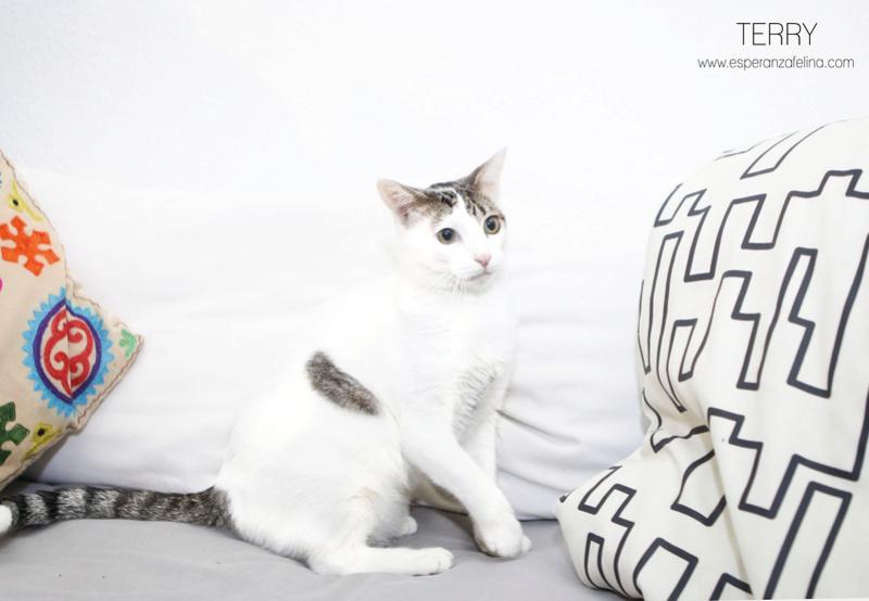 Terry, el gatito más guapo en adopción. (F.N: 24/04/17) Álava. Terry_12
