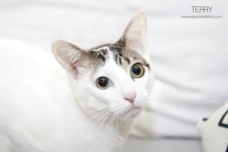 Terry, el gatito más guapo en adopción. (F.N: 24/04/17) Álava. Terry_13