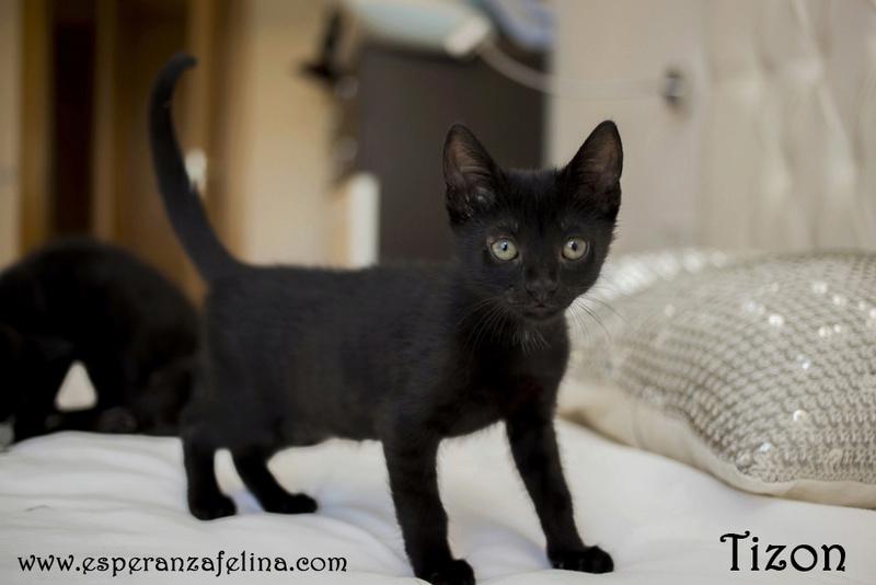 Tizon, precioso panterito en adopción. Álava (Fecha nacimiento: 05-04-17) ¡Adoptado! Tizon210