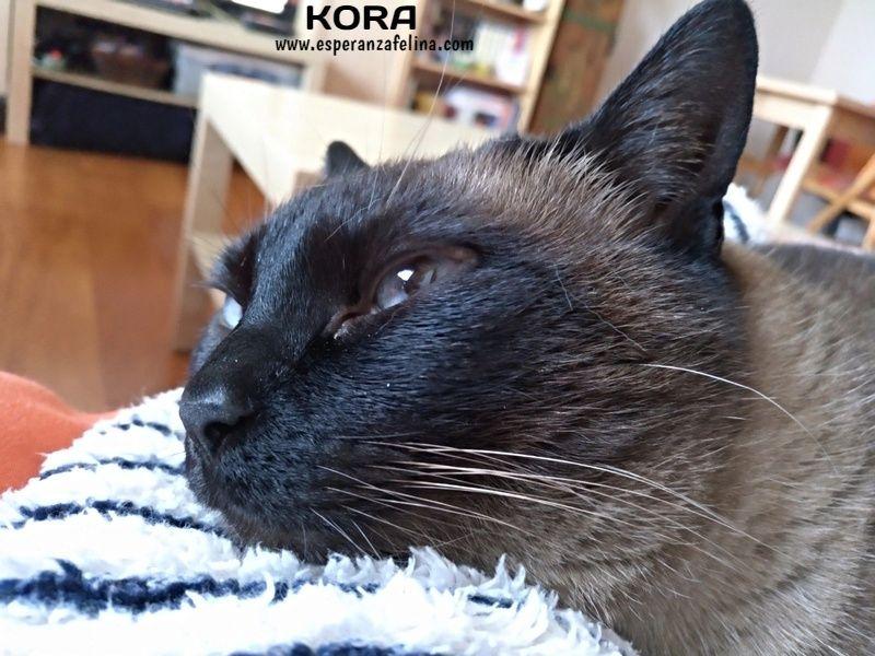 Kora, gata siamesa busca hogar, Álava (Fecha aprox. nacimiento 5/11) - Página 3 Tzz5th10