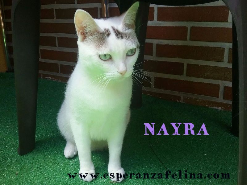 Nayra, gatita de ojos cautivadores en adopción. Alava (Fecha Nac. aprox: 11-08-2015) Yp3d2w10