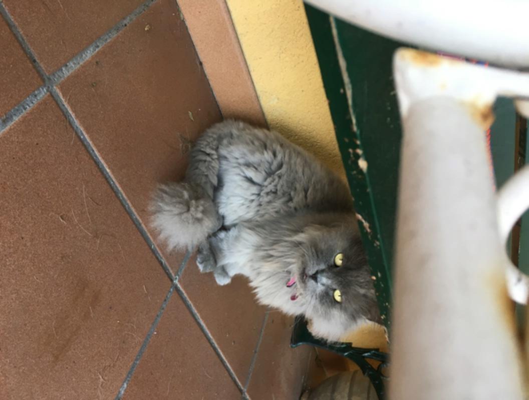 Gato tipo persa perdido zona O Valiño Image117