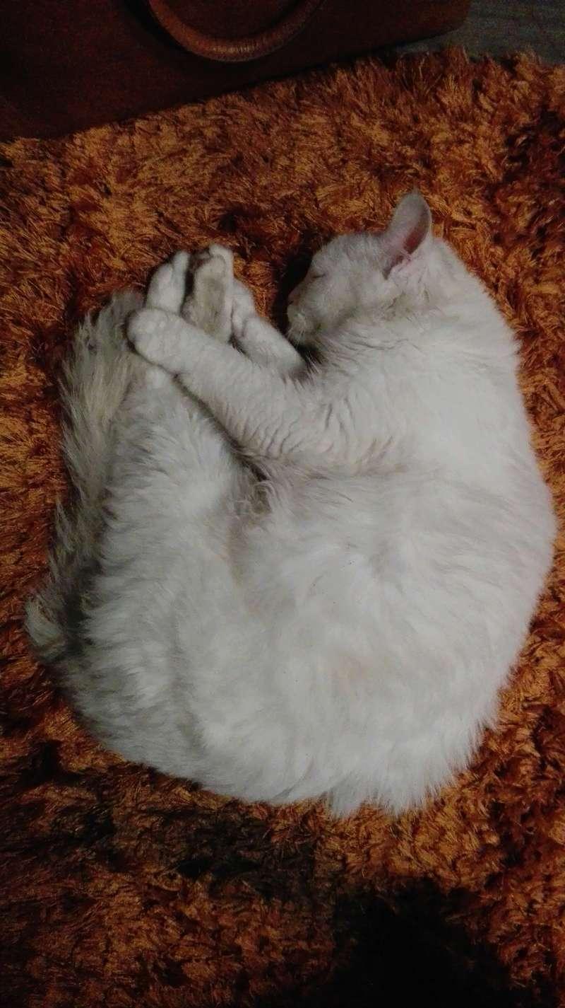 Gato persa blanco encontrado Novoa Santos Img_2044
