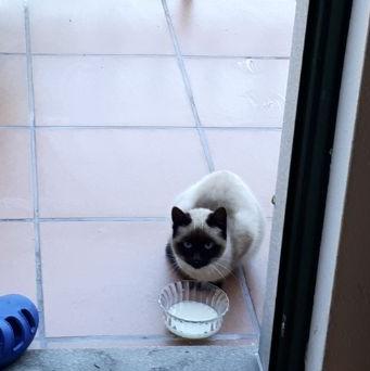 Gato Siames en La Zapateira Siamys10
