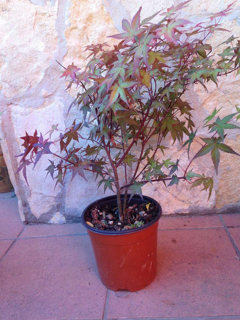 Rinvaso e potatura Acero Palmatum Acero211