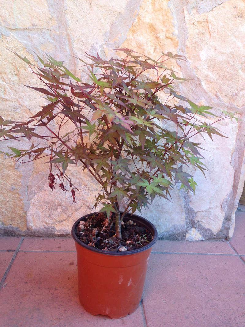 Rinvaso e potatura Acero Palmatum Acero_11