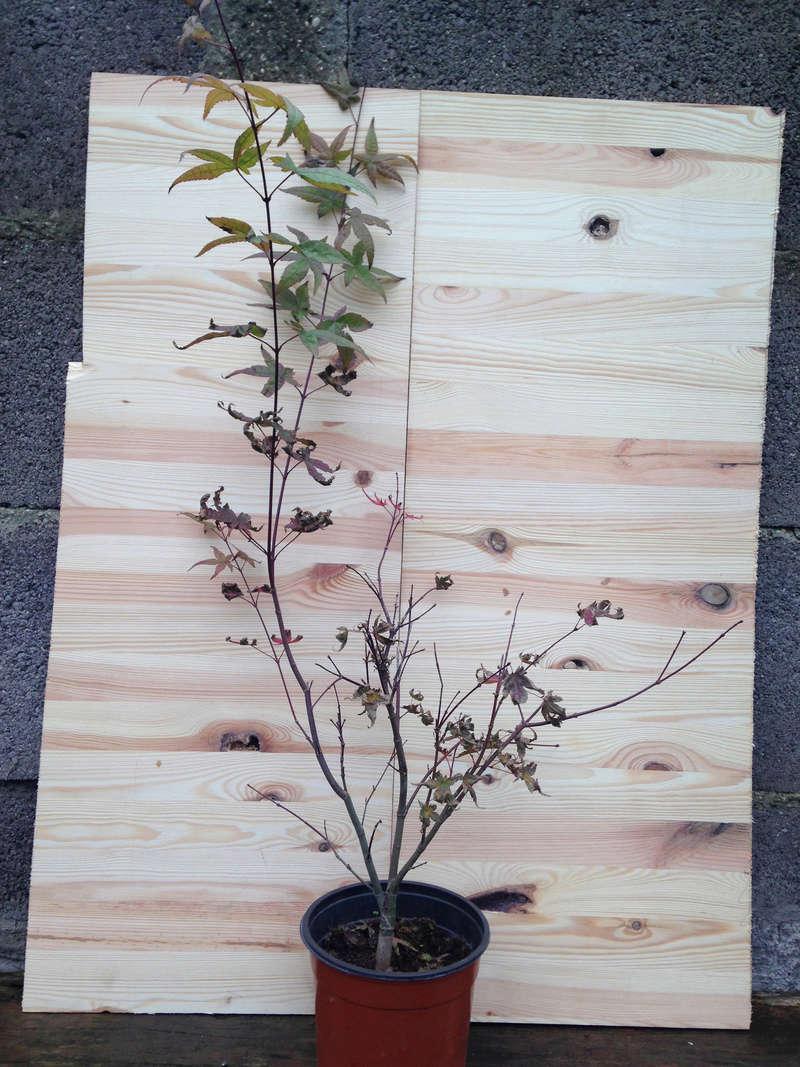 Rinvaso e potatura Acero Palmatum Acero_15
