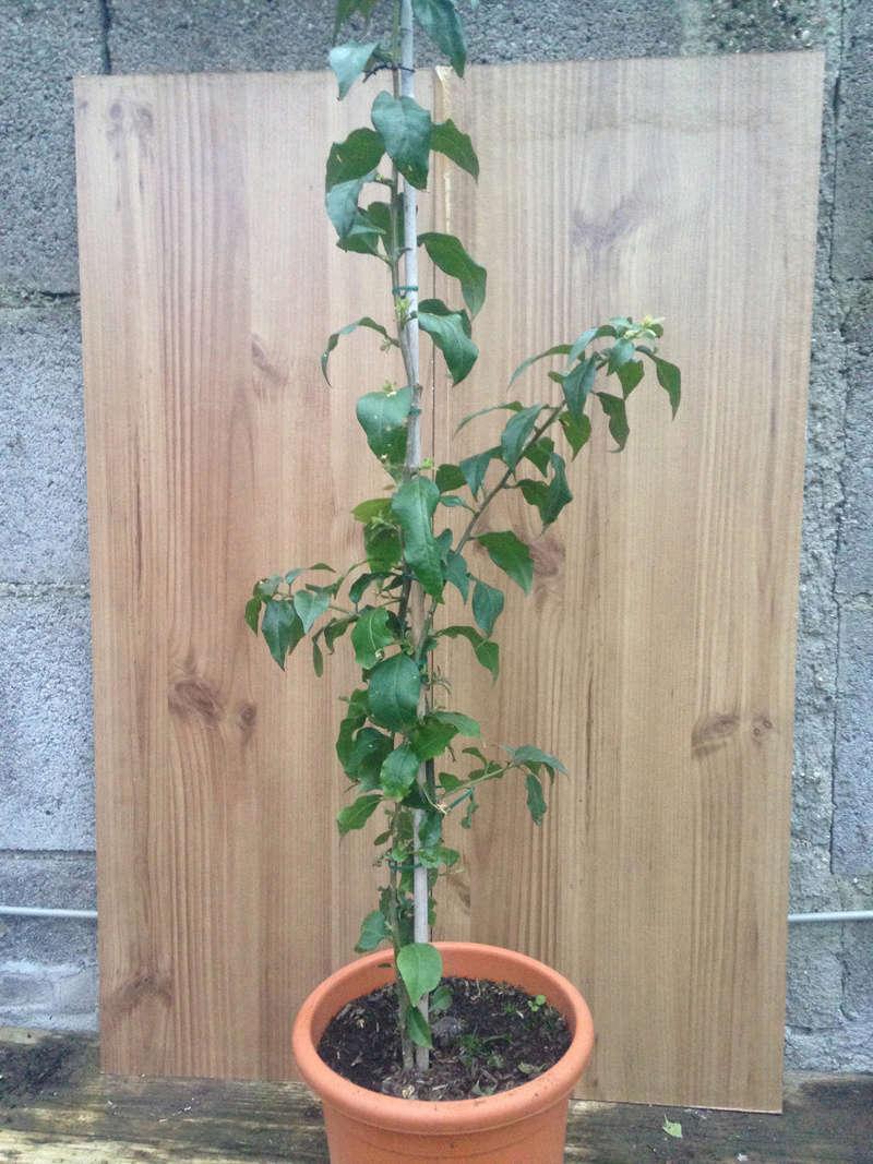 Pre-bonsai Bouganville Pianti10