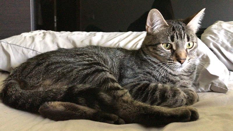 Lemmy, pequeño tigre busca su huequito (FN: 14/03/16) Álava ¡Adoptado! 65903111