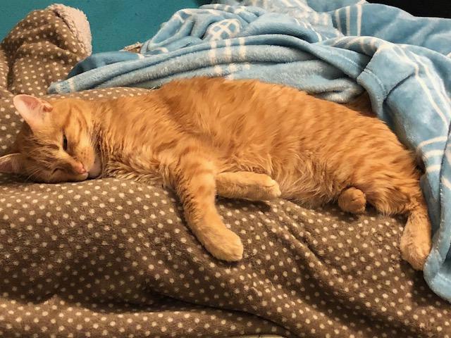 Miko, gato rubiales abandonado en una clinica, muy cariñoso, un año. Álava. Adoptado! Image110