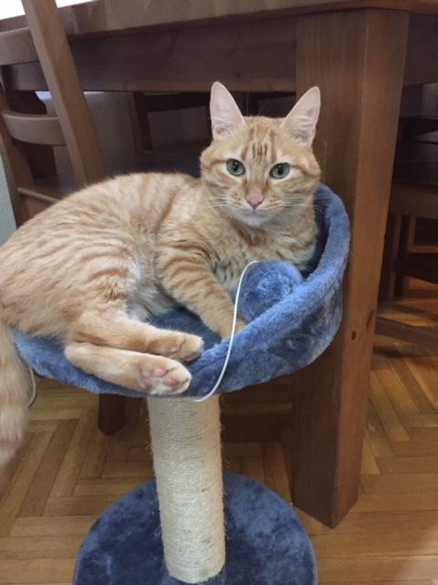 Miko, gato rubiales abandonado en una clinica, muy cariñoso, un año. Álava. Adoptado! Image310
