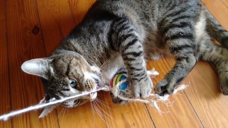 Léto, gentil chat mâle type européen, tigré, né en juin 2015 Img_2013