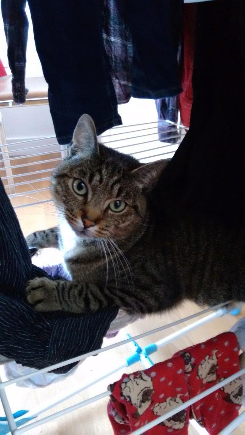 Léto, gentil chat mâle type européen, tigré, né en juin 2015 Img_2016