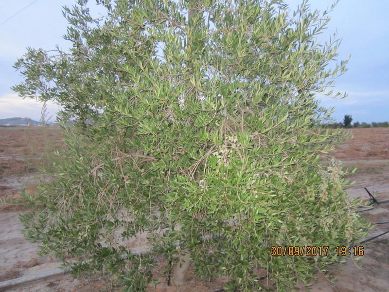 control de  phyllophaga spp (Gallina ciega) Img_1724