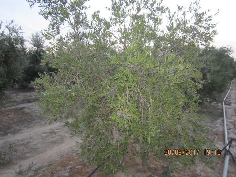 control de  phyllophaga spp (Gallina ciega) Img_1726
