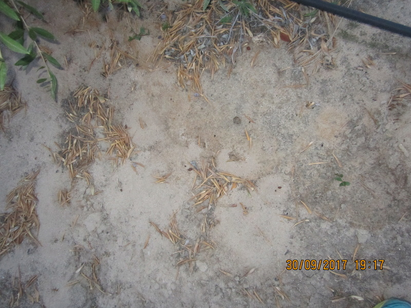 control de  phyllophaga spp (Gallina ciega) Img_1727