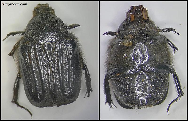 Coleoptera / Cetonidae Cetoni10