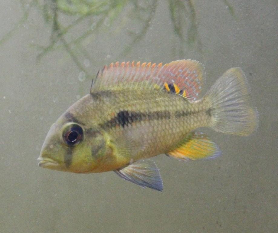 Heterochromis multidens  (Pellegrin, 1900) 20171110