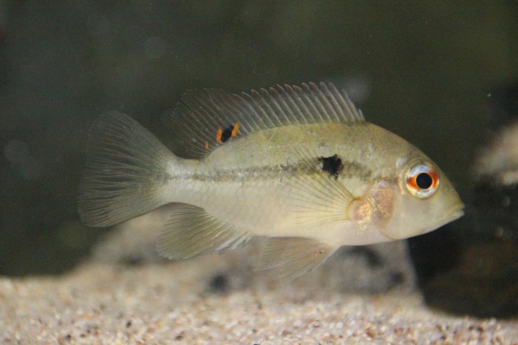 Heterochromis multidens  (Pellegrin, 1900) Img-2044