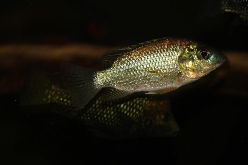 Sarotherodon knauerae Neumann, (Stiassny & Schliewen, 2011) Img-2092